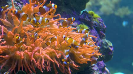 red sea anemonefish : a small, tropical marine fish with bold vertical stripes Stock Footage