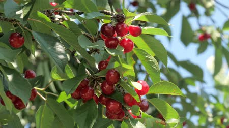 cultivar : cherry tree with ripe cherries Vídeos