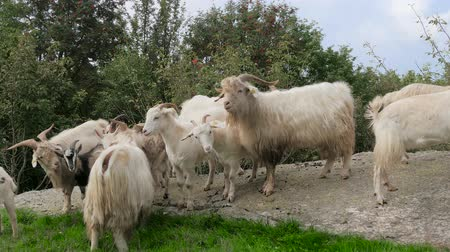 příze : A cashmere goat is any breed of goat that produces cashmere wool