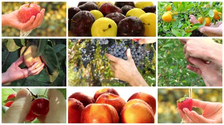 frutos : collage incluyendo manos diversas frutas de cosecha