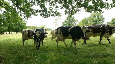 dairy animal : Cows at the countryside Stock Footage