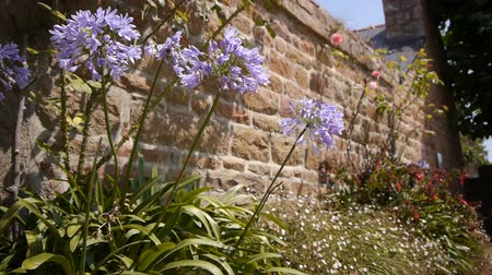 brittany : Agapanthus flowers at Ile de Brehat, Brittany France