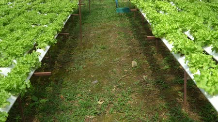 irrigação : Organic farm with agriculture vegetable hydroponic. organic vegetable is business agriculture growing