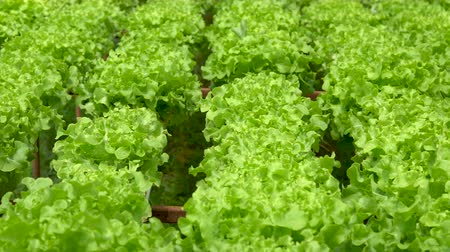seedlings : Organic farm with agriculture vegetable hydroponic. organic vegetable is business agriculture growing