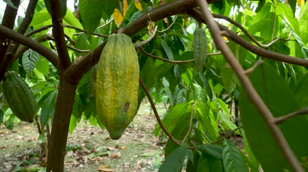 ogród : Cacao Tree (Theobroma cacao). Organic cocoa fruit pods in nature.