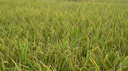abundância : yellow green rice field Stock Footage