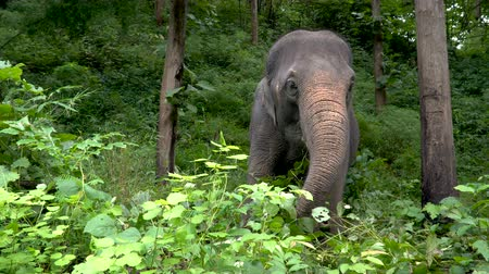 instinto : Los elefantes en la hierba. Elephant World Sunctuary, Tailandia Archivo de Video