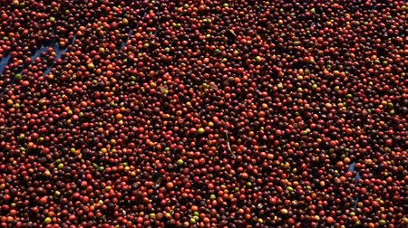equador : Fresh Arabica coffee berries . Organic coffee farm Stock Footage