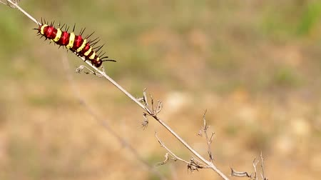 Colorful caterpillar on the red leaf Videos
