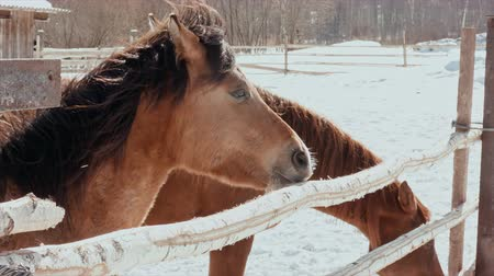 parte : Winter, sunny, cold day, a hungry horse bites a pole. Stock Footage