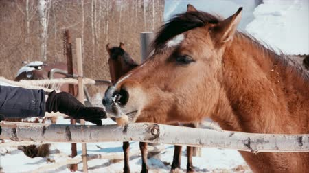 parte : In frosty sunny weather, a horse was treated to food. Stock Footage