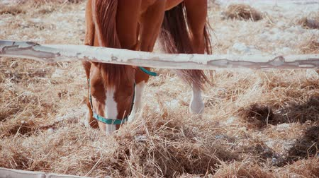 пони : Close-up of a horse looking for food in frozen hay. Horse digs hay, eats. Стоковые видеозаписи
