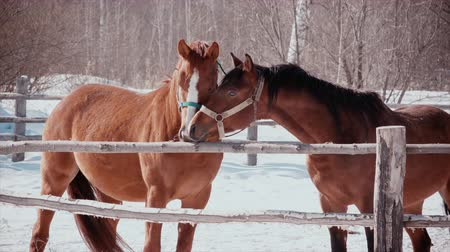 parte : Frosty sunny day, two horses caress each other. Romance of horses
