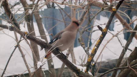 Winter in Russia. Beautiful Birds eat berries. Стоковые видеозаписи