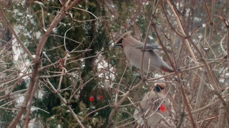 sedir : Winter in Russia. Beautiful Birds eat berries. Stok Video