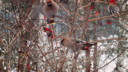 üvez ağacı : Winter in Russia. Beautiful Birds eat berries. Stok Video