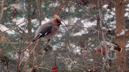 кедр : Winter in Russia. Beautiful Birds eat berries. Стоковые видеозаписи
