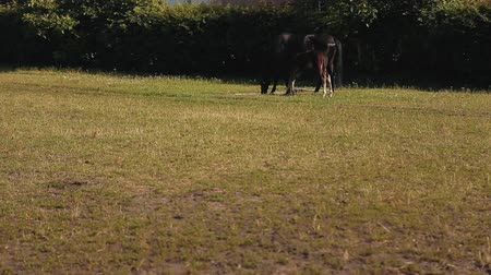 bloodstock : Brown Horses Eating Grass. Long Shot Of Head Of Horse Eating Grass Stock Footage