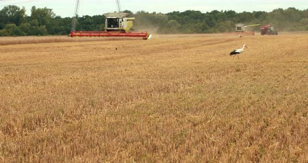 cigüeñas : Stork Walking On The Field On The Foreground Combine Harvesters. Combines And Tractors Working On The Field. Barley Harvest In The Field. Harvest. Agriculture. Prores, Slow Motion Archivo de Video