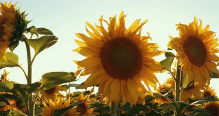 polního : Field With Rows Of Sunflowers At Sunset. Prores, Slow Motion