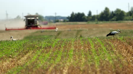 bocian : Storks Walk On The Field Looking For Food During The Harvest, Blurred Harvester In The Background Harvests. Prores, Slow Motion