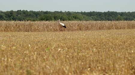 feeding ground : Stork Walks The Field After Harvesting Wheat. Crane Stork In The Field Is Looking For Food. Prores, Slow Motion, 4k Stock Footage