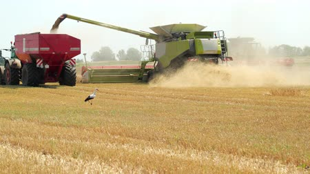 eficiente : The Green Combine Pours The Harvested Grain Into The Red Tractor Trailer. Late Summer Harvest. Stork Walks On The Field And Looking For Food During The Harvest. Field Work For The Harvest Of Rye And Wheat. Prores, Slow Motion, 4k