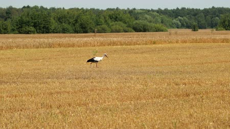 stěhovavý : White Stork With Black Portions Of Feathers Walking Around Field During Harvest And Looking For Food. In Foreground, Beautiful Green Trees. End Of Summer, Its Time To Harvest Rye And Wheat. Prores