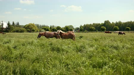 hoofs : Well-groomed horses are grazed on a field with a fence. A stallion with white mane looks at camera, and another horse shakes the mane and eats grass. Summer sunny day. Wide angle, prores, slow motion Stock Footage
