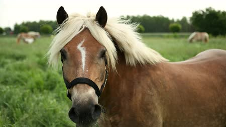 ищу : Portrait of beautiful well-groomed, brown horse, with a bridle and a sign of lightning at the forehead, a light mane of a sports stallion. The animal first looks into the camera, and then to the side