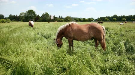 býložravý : Beautiful, pedigree, well-groomed brown and white with a bridle of horses graze on the enclosed area and eat green grass. On background of the trees and houses of German city. Wide angle, slow motion