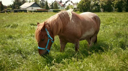 hoofs : Elite brown horse with blue bridle eats grass in fenced meadow along with other horses and looks at camera, sticks out food from the muzzle. In backdrop of beautiful German city building. Wide angle
