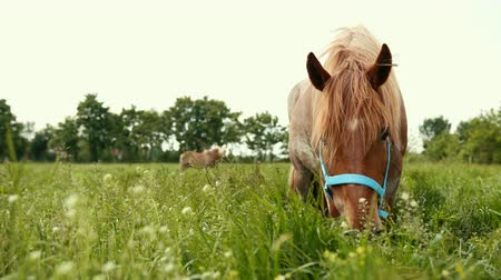 чистокровный : Wide angle. Brown, well-groomed, thoroughbred horse bridle with blue eats tall juicy grass with white flowers in the field. Nutritious food for the animal. Prores, slow motion