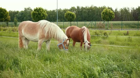 hoofs : Sports elite two horses are brown and beige eating juicy grass. Food for animals. They are in fenced yard with high plants. Shake your head and mane. On the background are green trees, birch forest
