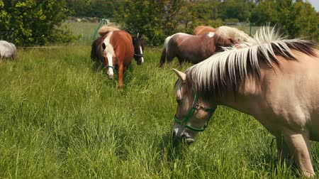 minério : Elite, beautiful, well-groomed horses graze on the field with high green grass. Brown, white, gray, beige, ore animals eat food. Prores, slow motion, wide angle Vídeos