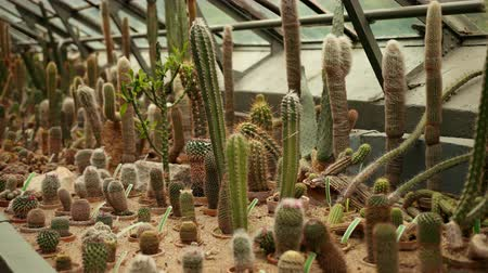 nedvdús : Cacti, cactus zone in a botanical garden of Wroclaw, Poland. Large number of different species of plants with thorns in pots grow in the orangerie. Wide angle, prores, slow motion Stock mozgókép