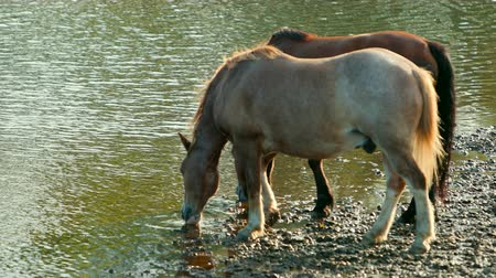 drove : two very beautiful horses, brown, grazing by the river, standing on the shore, drinking water, the stream flows around the wonderful nature, a day, slow motion