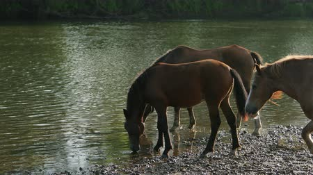 жеребенок : many very beautiful horses, brown and white flowers, graze by the river, stand on the shore, drink water, the stream flows, around the wonderful nature, a day, slow motion