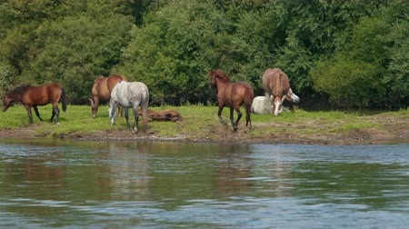 drove : very many beautiful brown and white horses, grazing by the river, standing on the shore, drinking water, two horses fell to the ground and itching, stream flowing, magnificent nature, day, slow motion