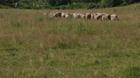 mob : many white and gray sheep grazing on the field, a herd of ewe run fast on grass green, beautiful nature, flying small birds, summer, Sunny day, slow motion, wide angle