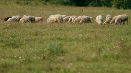 mob : very many white, brown and gray, sheep graze on the field, a herd of ewe lowered their heads eat green grass, beautiful nature, flying little birds, summer, Sunny day, slow motion, wide angle