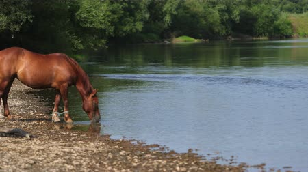 potro : two very beautiful horses, brown, grazing by the river, standing on the shore, drinking water, the stream flows around the wonderful nature, a day, slow motion, Wide angle