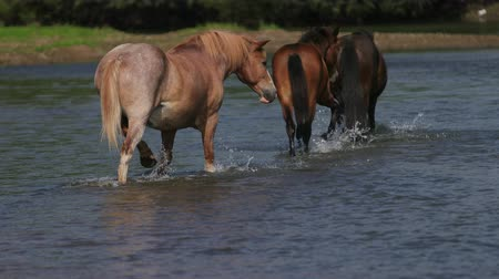 sede : three beautiful, graceful horse brown and light brown graze by the river, go on water, across the stream, small birds fly, wonderful nature, summer, Sunny day, Wide angle, slow motion