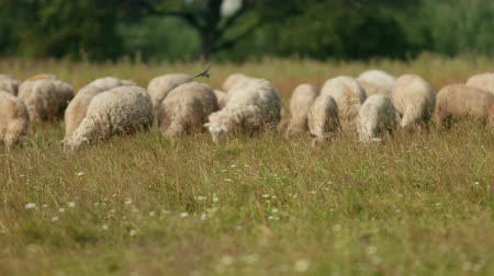 gyapjas : very many white, brown and gray, sheep graze on the field, a herd of ewe lowered their heads eat green grass, beautiful nature, flying little birds, summer, Sunny day, slow motion, wide angle