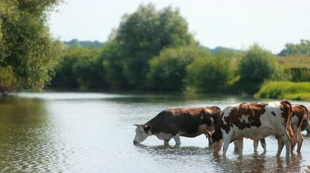 düve : many white and brown animals graze near the river, cows lowered their heads drink water, waving their tails, beautiful nature, flying little birds, summer, Sunny day, slow motion, wide angle
