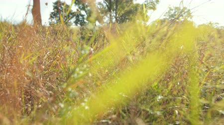 untamed : camera moves forward shooting tall wild green grass that gently sways in wind