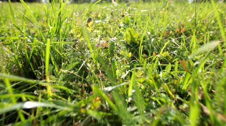 neobdělávaný : camera moves forward shooting tall wild green grass that gently sways in wind