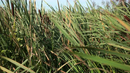 catástrofe : dried rush and reed cattails swamp grass high the nature landscape outdoors Stock Footage