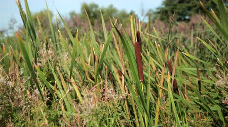 spikes : dried rush and reed cattails swamp grass high the nature landscape outdoors Stock Footage