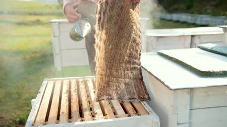 опылять : beekeeper, opens the hive, holding smoker to calm bees, a lot of smoke